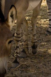Zebra, Stripes or Bars