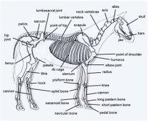 diagram of horse body parts