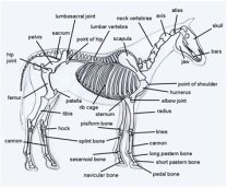 Diagram of horse body parts horse skeleton ccuart Images
