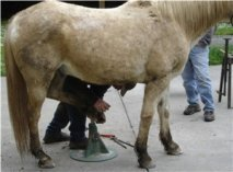 Shoeing Horses with Jarl Viale