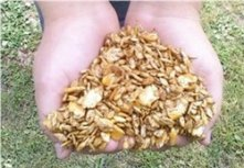 Sweet cob grain