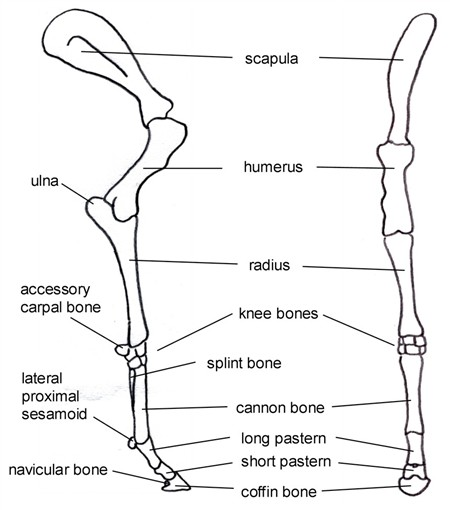 How Equine Forelimb Anatomy Plays Out With Conformation