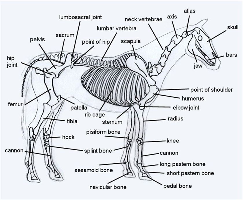 Labeled Diagrams Of Horse Skeletons Schematics Wiring Diagrams