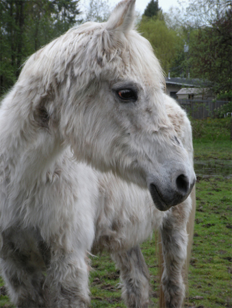 Cushings disease causes long hair growth in horses