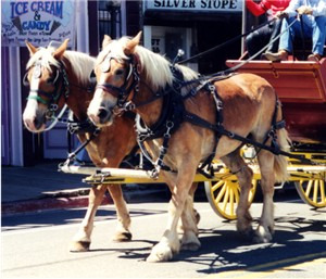 Draft horses are prone to equine scratches