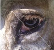 Slightly crusty horse eye