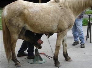 Shoeing Horses
