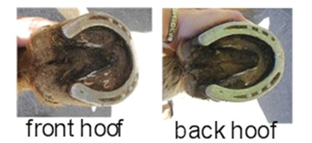 Front and back hoof of the same horse. Notice the different shape.
