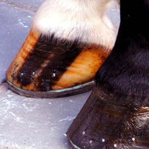 Striped hoof