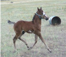 This little foal learned to walk an hour after birth!