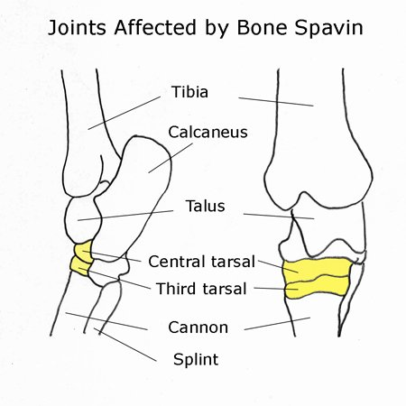 Hock joints affected by bone spavin