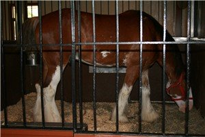 A pampered Clydesdale draft horse from the Anheuser Busch Brewery.