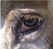 Slightly crusty horse eye