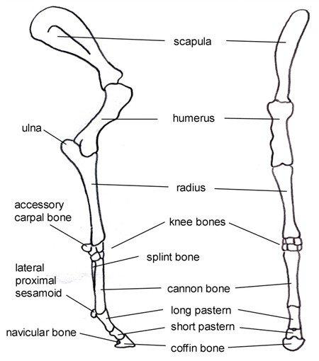 Equine Forelimb Anatomy