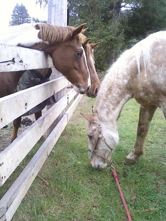 Equine strangles is highly contagious