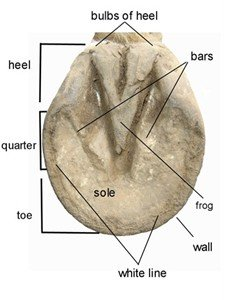 Horse hoof anatomy - the sole