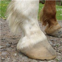 An unshod horse hoof