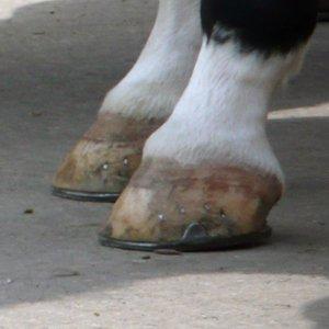 White hoof
