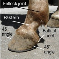 parts of the horse hoof