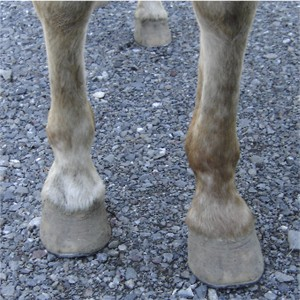 White hooves are strong!