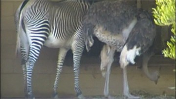 A zebra 'rooming' with an ostrich.