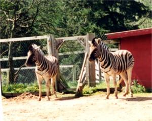 Zebras are a non-horse equine